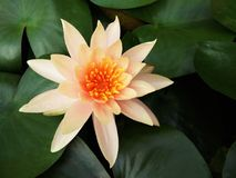 Blossom orange Lotus flower or Water lily and blurred green leaves background stock photography