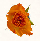 Blossom of an orange rose Royalty Free Stock Photo