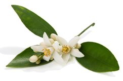 Close up of orange or tangerine blossom. Blossom of orange or tangerine tree with leaves, flowers and buds isolated on white background royalty free stock photography