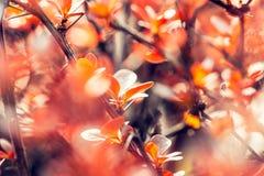 Blossom of the  orange tree Royalty Free Stock Image