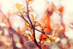Blossom of the orange tree Royalty Free Stock Image