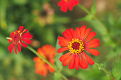 Blossom orange zinnia Royalty Free Stock Images