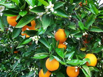 Blossom and oranges on tree. Ripe oranges on blossom on leafy tree royalty free stock image
