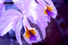 Blossom Orchid Royalty Free Stock Photography
