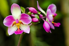 Blossom orchid Stock Images