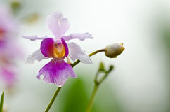 Blossom orchid Royalty Free Stock Photos