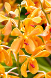 Blossom Orchid. Stock Image