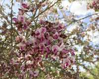Blossom of Orchid Tree, close up Stock Photos
