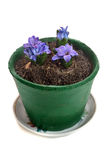 Blue hyacinth Stock Photography