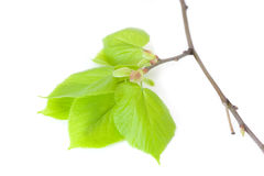 Blossom out linden (lime) tree Leaves. Royalty Free Stock Photo