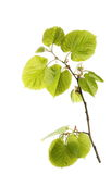 Blossom out linden lime tree leaves isolated on white Stock Photo