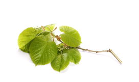 Blossom out linden lime tree leaves isolated on white Royalty Free Stock Image