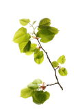 Blossom out linden lime tree leaves isolated on white Stock Images