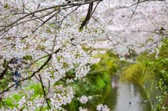 Blossom over Philosopher`s Walk in Japan royalty free stock images