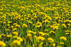 Blossom and overblown yellow dandelions on green meadow Royalty Free Stock Image