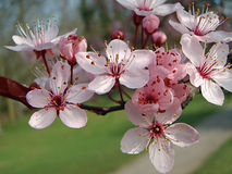 Blossom. Pale pink cherry blossom on a branch Stock Photos