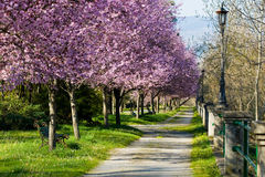 Blossom in the park. Footpath with plum trees in blossom Royalty Free Stock Photography