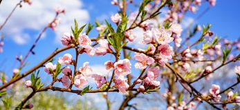 Blossom peach tree with beautiful pink flowers and small young green leaves against blue sky in the garden in sunshine spring day royalty free stock image