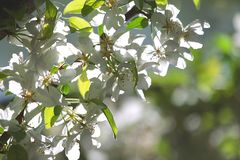 Blossom Pear Tree Royalty Free Stock Images