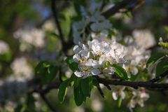 Blossom of Pear stock images