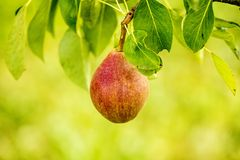Blossom of a pear tree Stock Photography