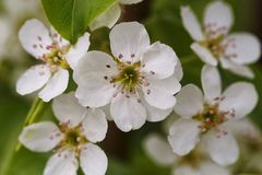 Blossom pear tree flower close up. Bright macro shot. Spring time Royalty Free Stock Image
