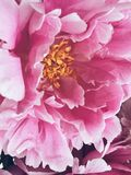 Blossom peonies. Spring /summer stock photography