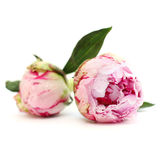 Blossom peony flowers, floral background Stock Image