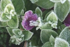 Blossom petunia hybrida covered with first hoar frost. High angle view stock images