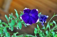 Blossom petunia Stock Photography