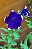 Blossom petunia Stock Images
