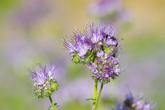 Blossom phacelia flowers Stock Photography