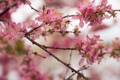 Blossom, Pink, Branch, Cherry Blossom royalty free stock photo