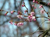 Blossom, Pink, Branch, Spring royalty free stock photos