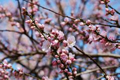 Blossom, Pink, Branch, Spring royalty free stock photography