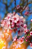 Blossom, Pink, Branch, Spring royalty free stock photo