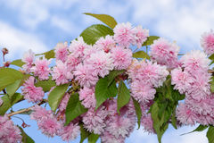 Blossom pink cherry Stock Photo