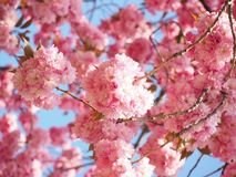 Blossom, Pink, Cherry Blossom, Spring royalty free stock image