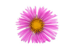 Blossom pink chrysanthemums. Flower pink chrysanthemums on isolated white background Stock Photography