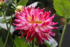 Blossom pink dahlia flower Royalty Free Stock Photos