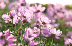 Blossom pink flower. In a beautiful day Stock Photos