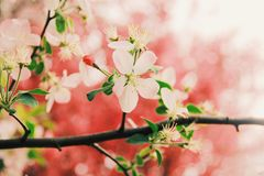 Blossom, Pink, Flower, Branch royalty free stock images