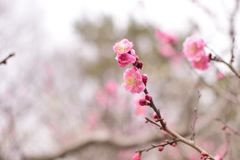 Blossom, Pink, Flower, Branch royalty free stock photo