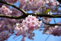 Blossom, Pink, Flower, Cherry Blossom stock photo