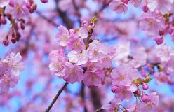 Blossom, Pink, Flower, Cherry Blossom royalty free stock photos