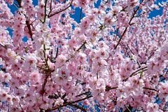 Free Blossom, Pink, Flower, Spring Stock Image - 89872051