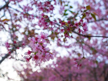 The blossom of pink flowers called Wild Himalayan Cherry in Chai Stock Photo