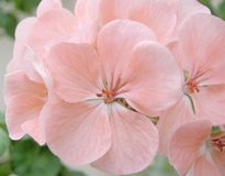 Blossom pink geranium Royalty Free Stock Photography