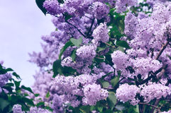 Blossom of pink lilac flowers - pastel and soft focus processing. Stock Photo