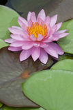 Blossom Pink Lotus Royalty Free Stock Photo
